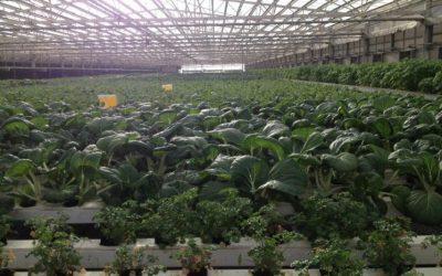 IMPLICATIONS OF FOOD GROWN IN URBAN SETTINGS